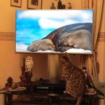 Look who is enjoying Blue Planet... #shashti our #bengalcat #daveknowles https://t.co/mBf2XdwbgQ