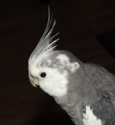 white face cockatiel portrait
