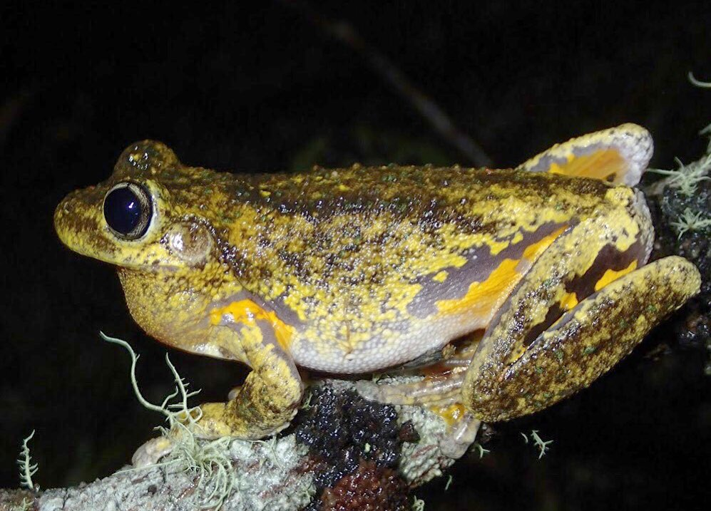 Thanks to everyone for submitting #frog calls from all over #Australia as part of #FrogID. Please keep going! One of my favorite frogs is calling now in the southeast- Peron's Tree Frog (Litoria peronii). #WildOz<br>http://pic.twitter.com/RHFk3GXIPB