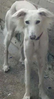 SKYE #Lost #ScanMe White Saluki Female Nr Moors nr #A174 #Whitby #NorthYorkshire #Yorkshire #YO21 NOT FROM AREA. PLEASE SHARE. #YO22  http://www. doglost.co.uk/dog-blog.php?d ogId=122280#.WhHldD5Nl90.twitter &nbsp; … <br>http://pic.twitter.com/jByyV4lL9z