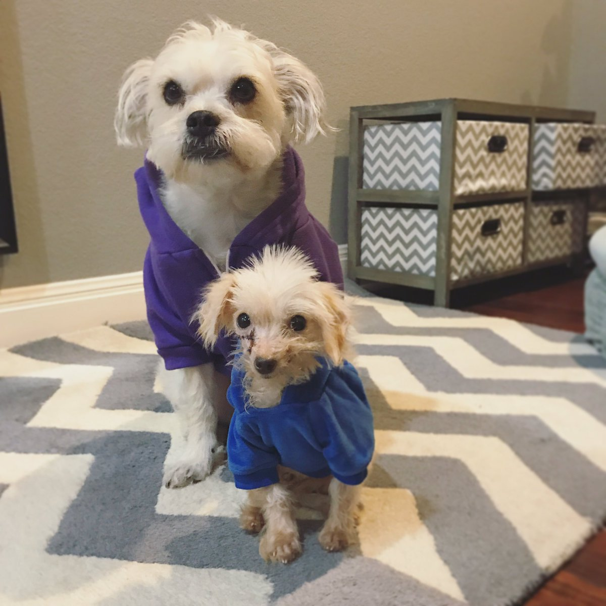 We&#39;ve got our hoodies on, and we&#39;re ready to tackle this potty walk! Lil&#39; Kim looks good in blue. #Austin @AustinDogRescue<br>http://pic.twitter.com/bC0iFX76LA