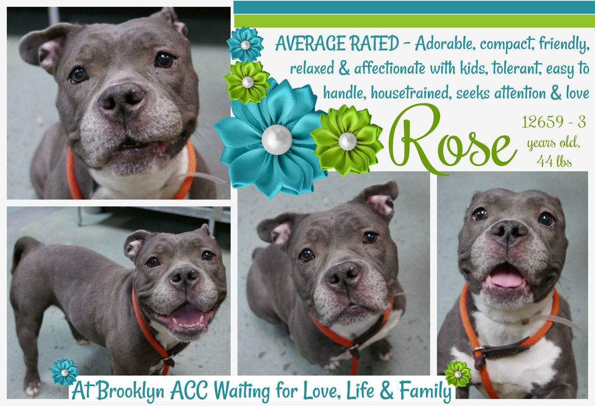 ROSE  http:// nycdogs.urgentpodr.org/rose-12659/  &nbsp;    #NYC KILL TARGET 3 Y OLD SWEET GIRL GENTLE AND AFFECTIONATE W/KIDS FRIENDLY KNOW COMMANDS WELL BEHAVED DUMPED BC LANDLORD SAVE ME! CAN BE RESERVED #FOSTERING IS FREE &amp; TEMPORARY HELPDOGS@URGENTPODR.ORG MSG  https://www. facebook.com/mldsavingnycdo gs &nbsp; … <br>http://pic.twitter.com/44HHUvA9Pf