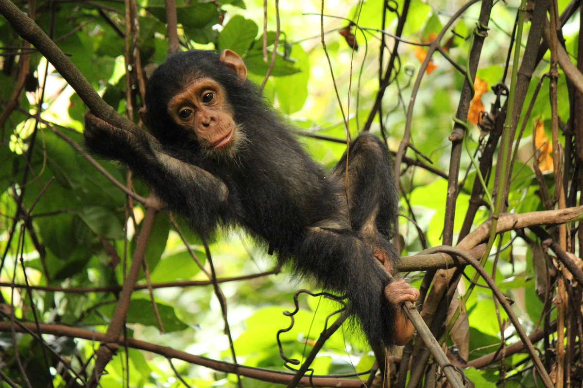 K. Walker et al: Female #chimps reach sexual maturity and reproduce later than previously reported. #openaccess  http://www. sciencedirect.com/science/articl e/pii/S0047248416302123 &nbsp; … <br>http://pic.twitter.com/MZkPeQ1CWG
