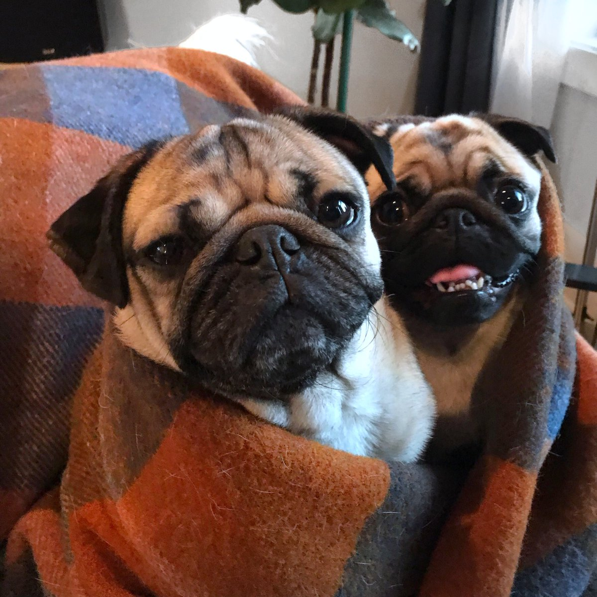Doug The Pug On Twitter Im So Thankful For U Httpstco - 20 reasons why you should be thankful to have a dog