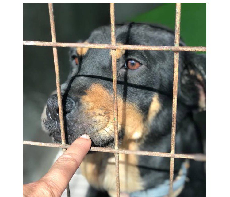 Do we have any rottie lovers out there?! Our gorgeous FELICITY is looking for a home   https:// spdc.org.uk/dogs/felicity/  &nbsp;   #adoptdontshop #SPDC #RT<br>http://pic.twitter.com/MjeVIDSayZ