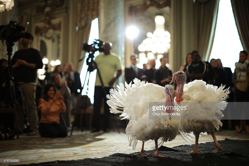 Drumstick and Wishbone, the National #Thanksgiving #Turkeys meet the media prior to a #pardon by President Trump #GobbleGobble : @somogettynews<br>http://pic.twitter.com/0D0UyWqv4T