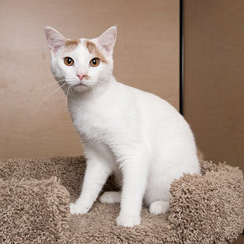 Gumdrop: I am a very curious and outgoing kind of kitty. I&#39;m very talkative and playful. My favorite thing to do is hanging out and being petted by a loving human. #cats #kittens #AdoptDontShop <br>http://pic.twitter.com/FOZL3KNF0S