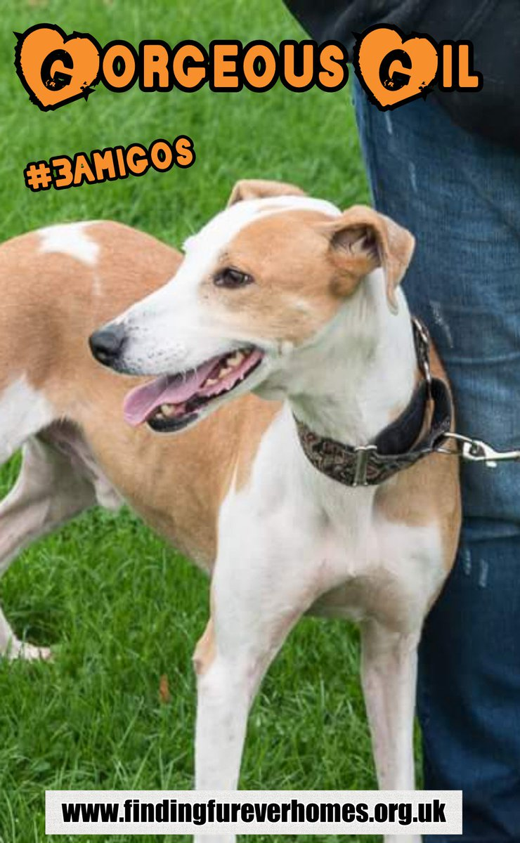 Gorgeous Gil is a sweet lad in rescue in #Shropshire and looking for love  #adoptdontshop #FFH #k9hour   http://www. findingfureverhomes.org.uk/dogs/gil/  &nbsp;  <br>http://pic.twitter.com/dM8QlzANHt