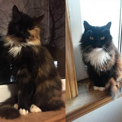 ADOPT A CATS: Sapphire &amp; Tiffy, 11 year old, longhaired outdoor cats. Details  http:// bit.ly/2yXINRk  &nbsp;   #catsprotection #AdoptDontShop <br>http://pic.twitter.com/yPUERFPunj