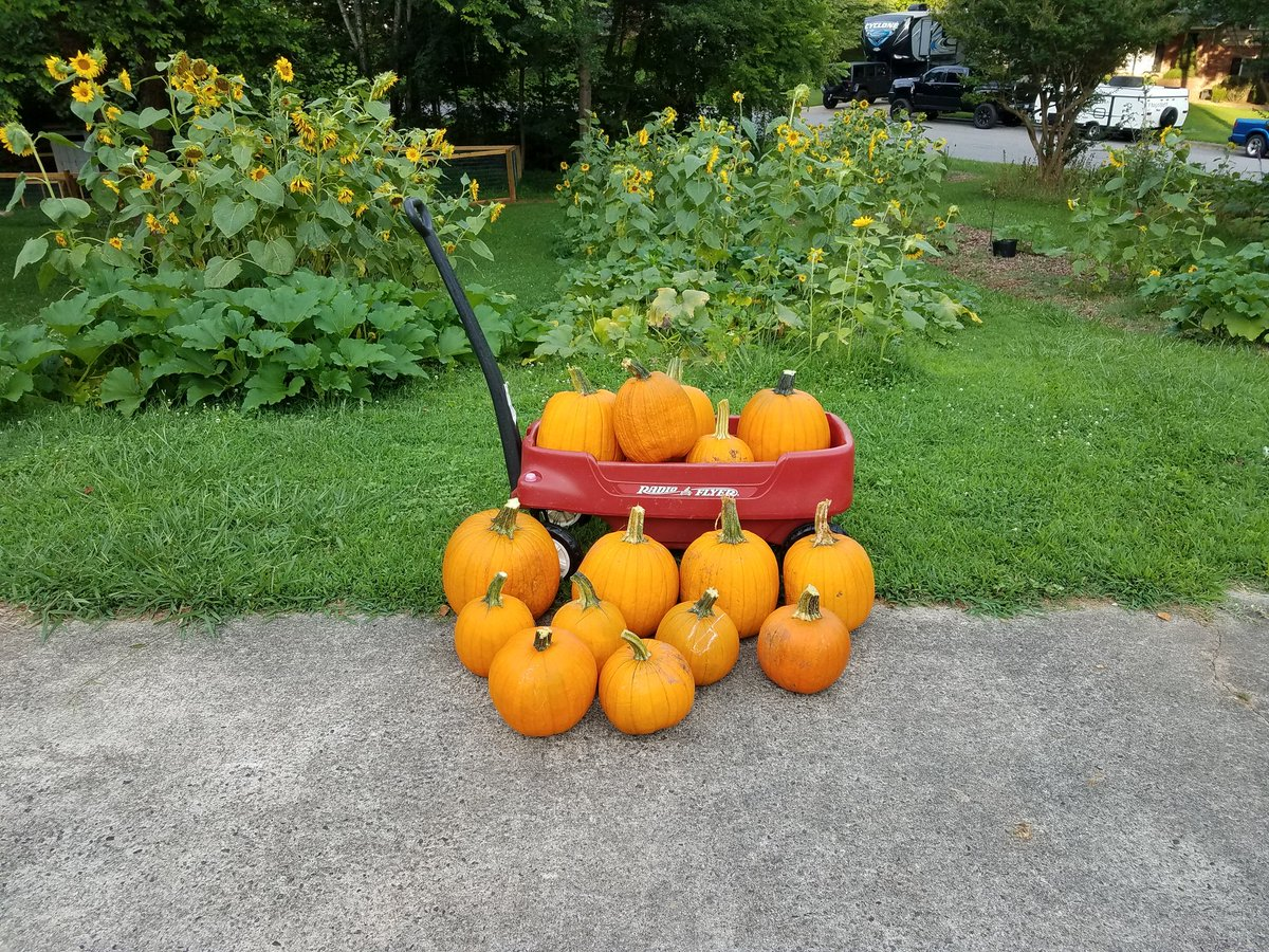 #gardenchat a3, my yard was overflowing with volunteer pumpkins and gourds this year! <br>http://pic.twitter.com/YpQlHeU52O