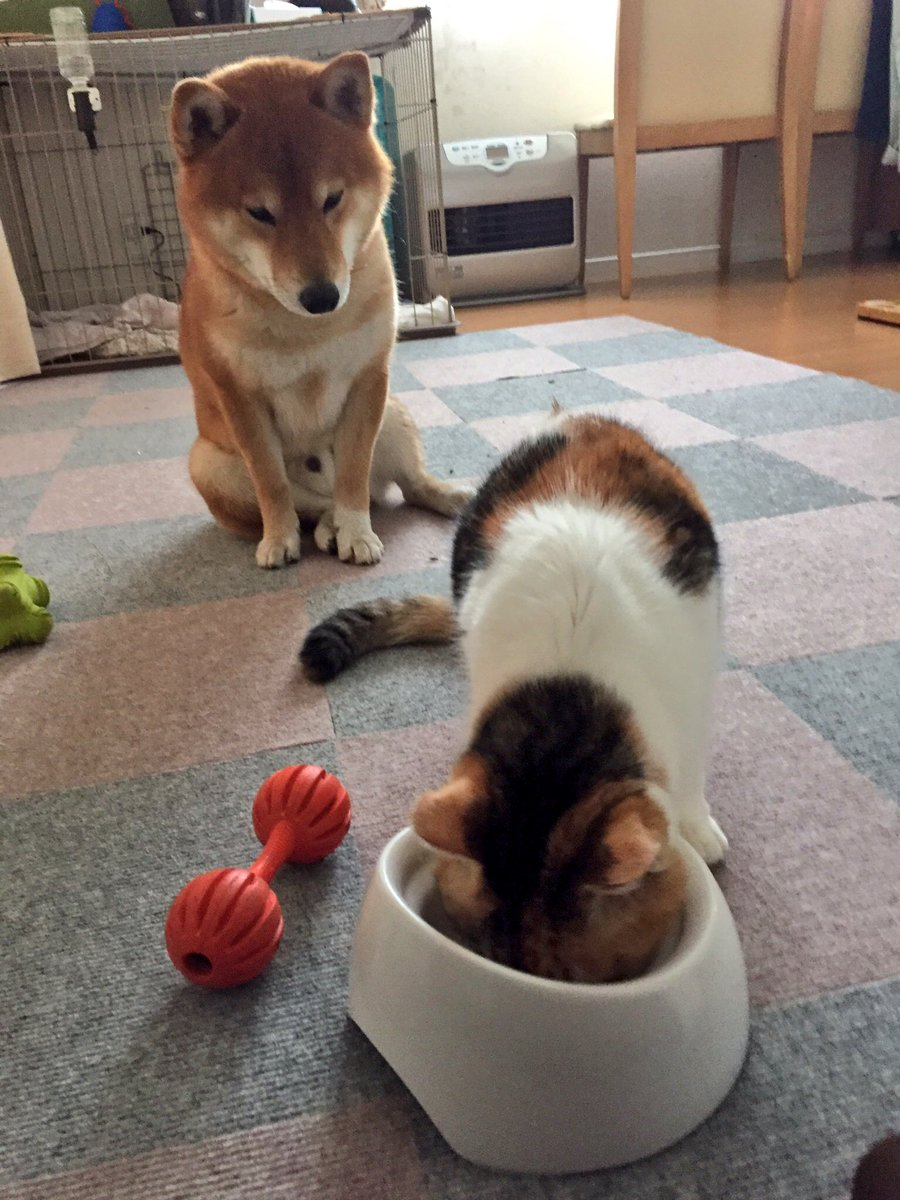 #じわじわくる柴犬を無言であげる見た人もやる  猫にご飯を食べられる犬 http...