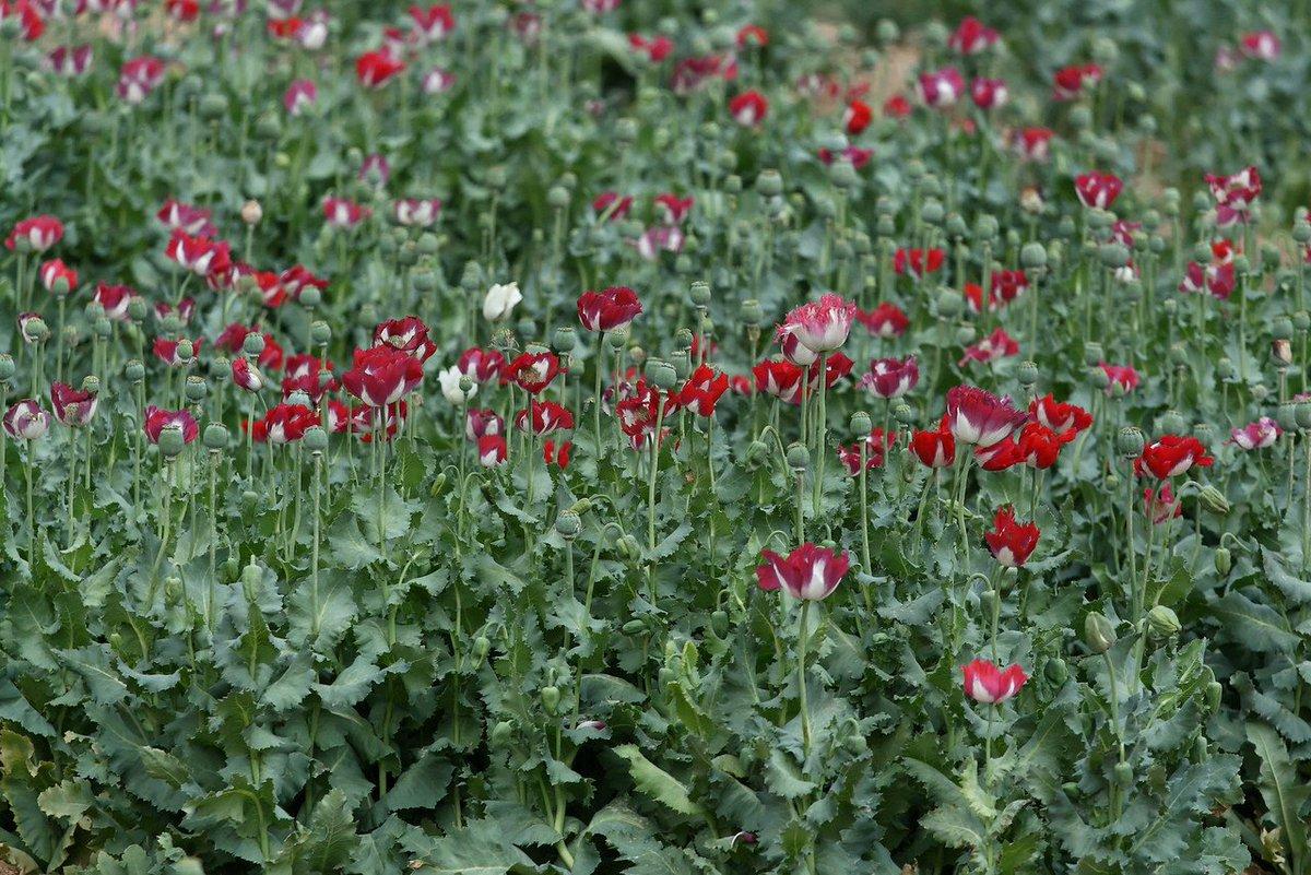 Such cruel beauty. Such deceptive flowering. Such tragic ends. #Afghanistan #Opium #Heroin @UNODC unodc.org/unodc/en/press…
