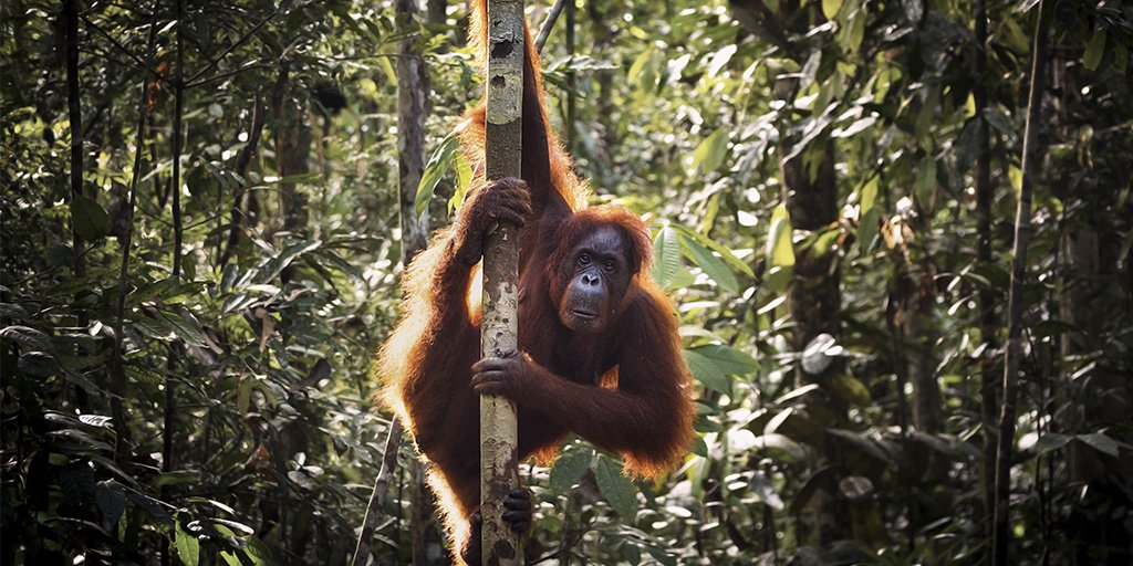 Get up close with the unique orangutans of #WonderfulIndonesia  http:// bit.ly/2AjNwhp  &nbsp;   <br>http://pic.twitter.com/X7zDzfaFW7