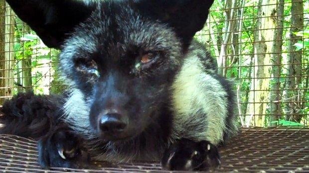 Quebec fur farmer pleads guilty in animal cruelty case dating back to 2014 https://t.co/v8CxO8lVk6