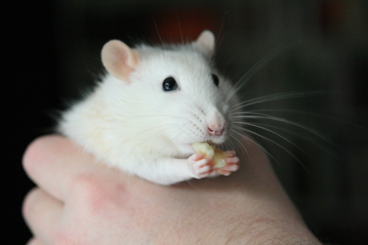 They say I am a #handful. That&#39;s just not true... #ratty #rat #sweet #cute #shiprat #notroubleatall<br>http://pic.twitter.com/1wiUnxMSZW