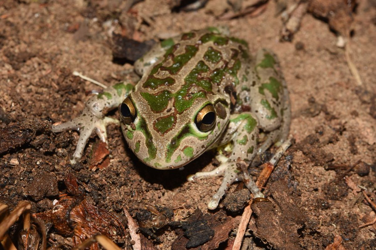 The Motorbike #Frog (Litoria moorei). Great to get so many calls of this species submitted to #FrogID, the national frog count, from near #Perth, Western #Australia. Please keep recording!  http:// bit.ly/2mPo9y0  &nbsp;   #CitizenScience<br>http://pic.twitter.com/I8uuWKIvIc