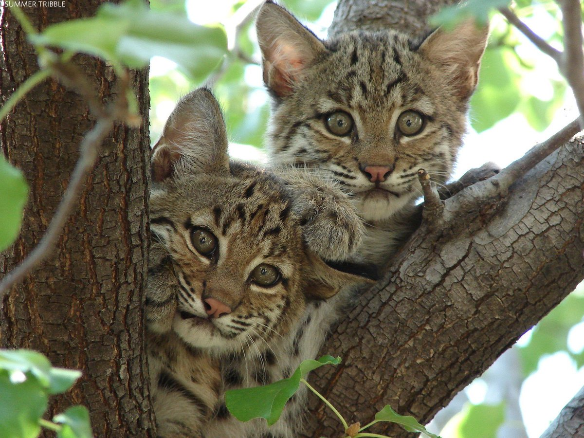 To survive, bobcats need land to roam. This year, we worked to protect critical habitat for these beautiful cats. Once complete, 'Bobcat Alley' will link to nearly 400,000 acres of additional protected habitat in NJ, NY, & PA. https://t.co/HSqX5Z24YH