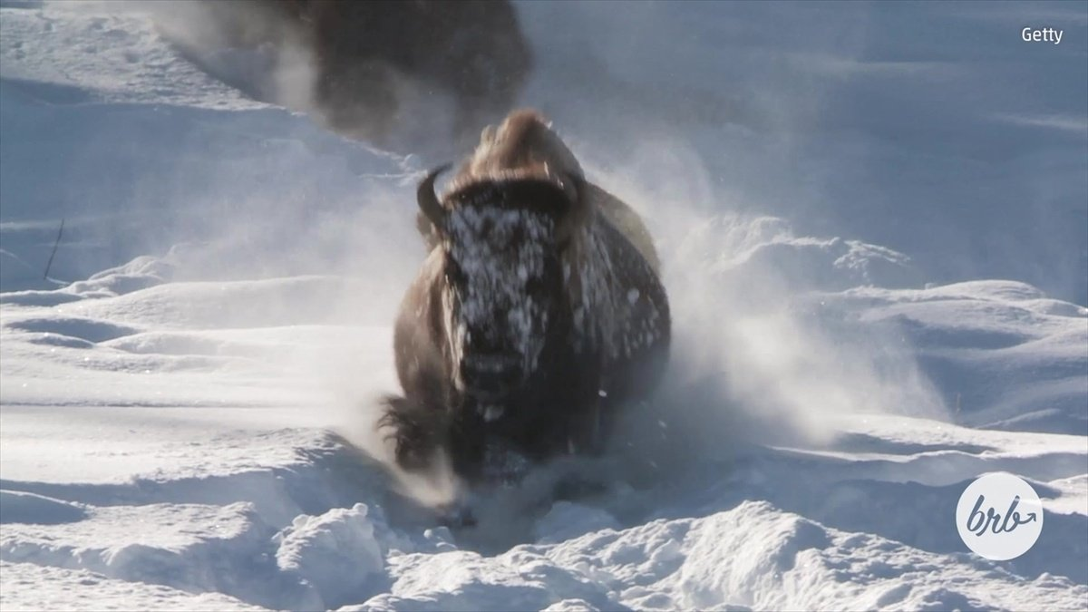 Bison, deer bask in the beauty of Yellowstone Park in Winter https://t.co/g363o01IWT