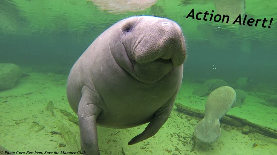 Act Now To Protect Manatees! Urge your U...