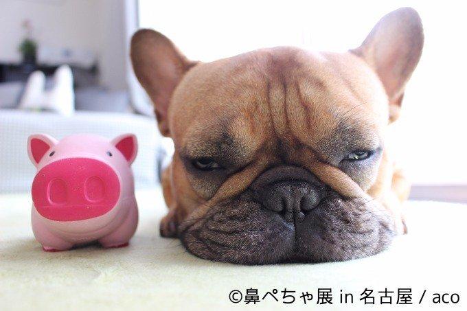 """名古屋で「鼻ぺちゃ展」ブルドッグにパグ…""""鼻ぺちゃ犬""""の写真&グッズが大集合 - https://t.co/6KOEN9W1m9"""