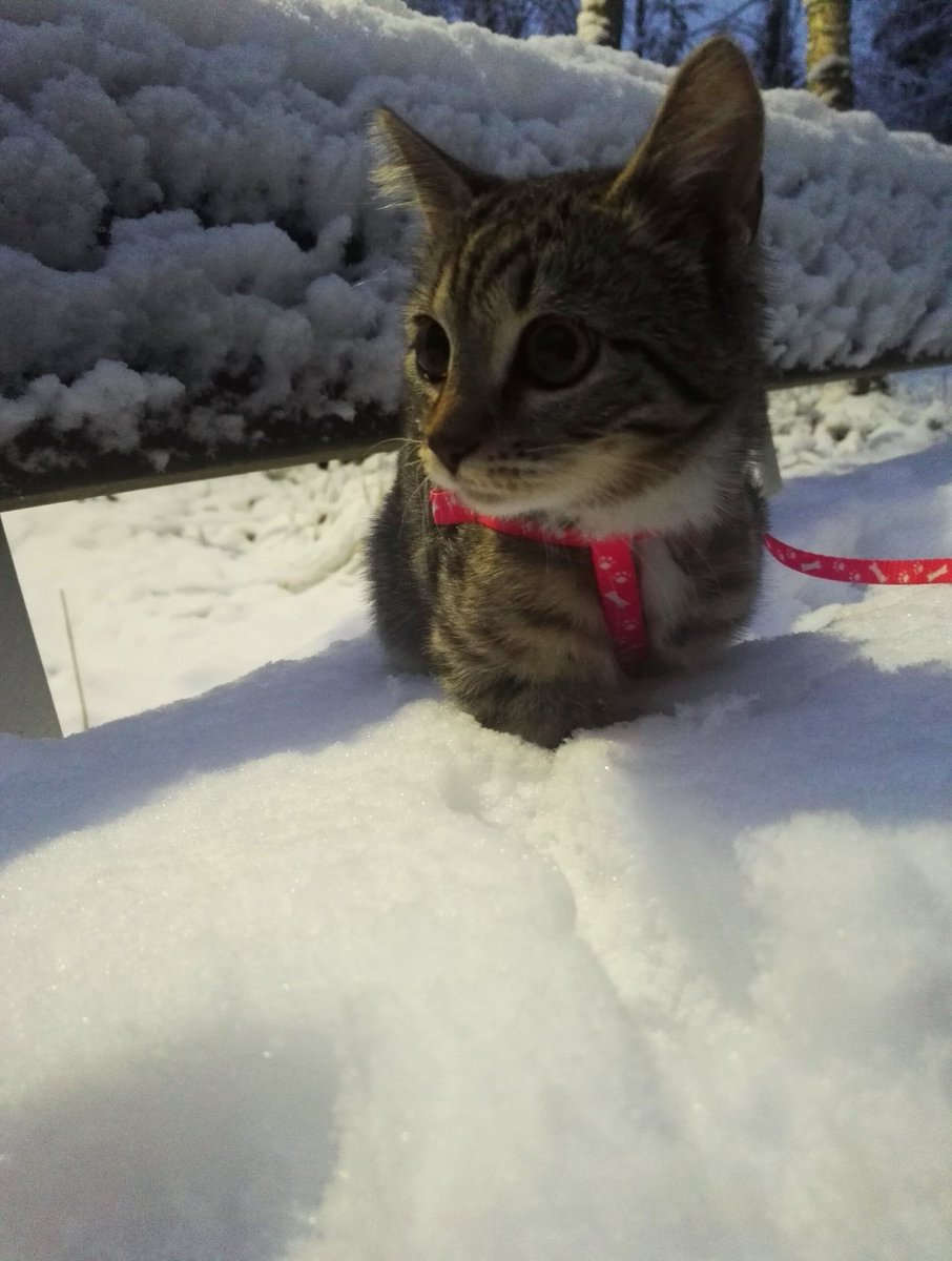 The wonderland of snow (I&#39;m not sure about this...) #Morningwalk #kitten #tabby #CatsOfTwitter  #November #whiskerswednesday #Maisa<br>http://pic.twitter.com/f2QIaN0WGT