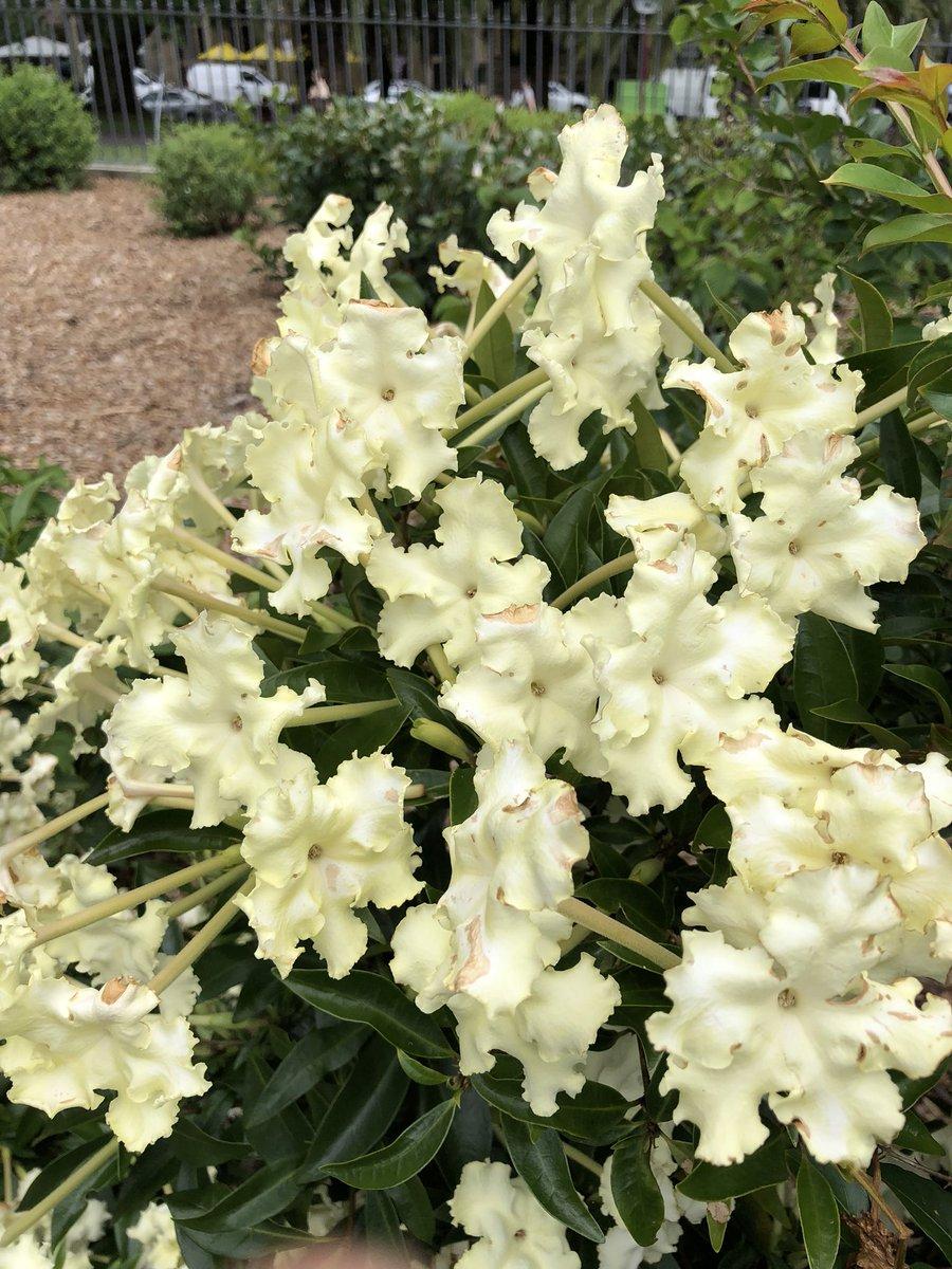 Dr Dale Dixon On Twitter Brunfelsia Undulata White Caps