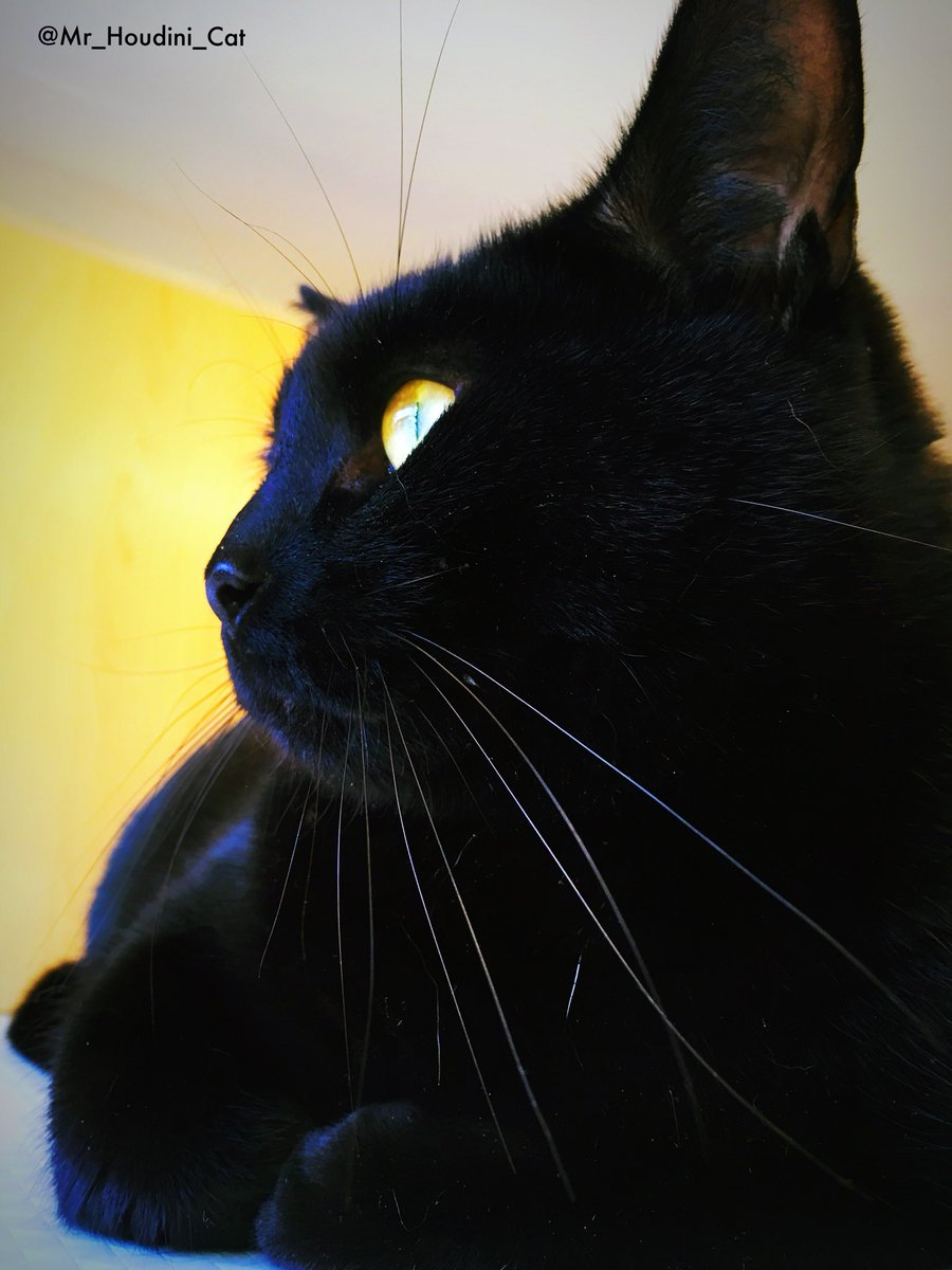 Happy #whiskerswednesday my whiskers are super spectacular ! Have a pawsome day floofy friends and hoomans! Mums on lates today so, will do my duties on my own! #AdoptDontShop #blackcat #blackcats #catsoftwitter #catoftheday #catlife #cats #kitten #love  <br>http://pic.twitter.com/dxBcL7vc7j