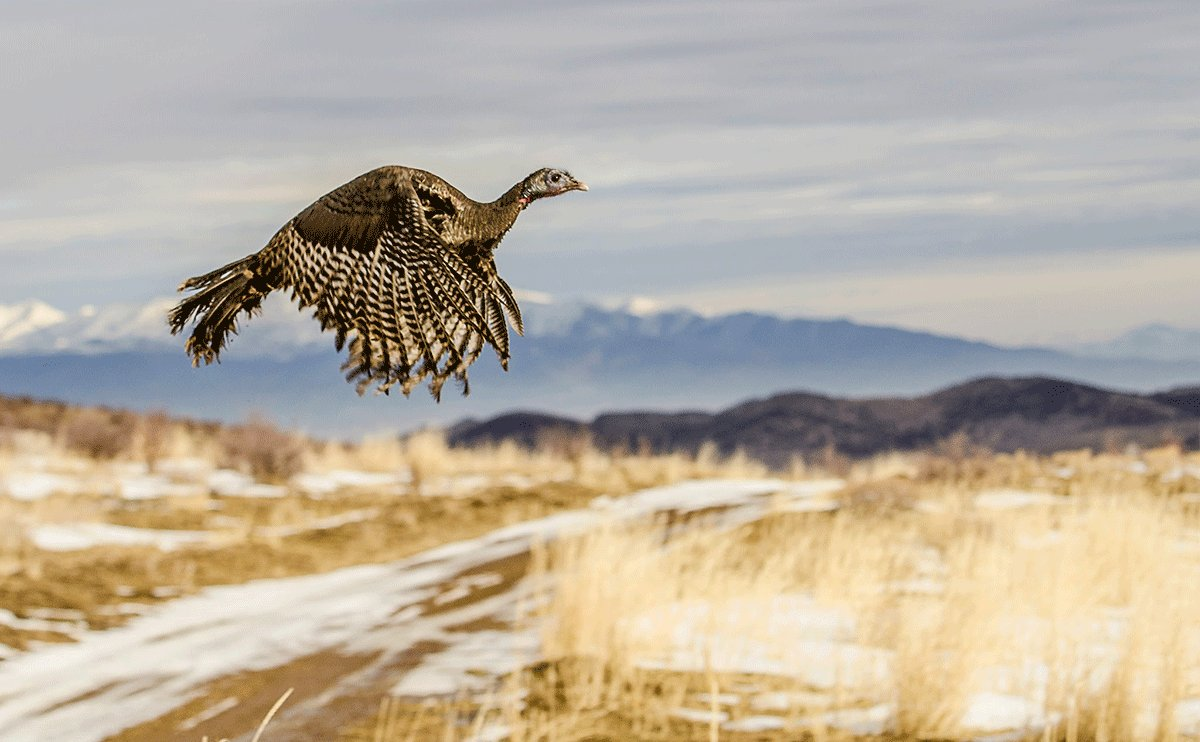 Fun fact: Turkeys are surprisingly speedy. A wild #turkey can run up to 25 mph and fly up to 55 mph! #WildlifeWednesday <br>http://pic.twitter.com/MSKa9JT5TT