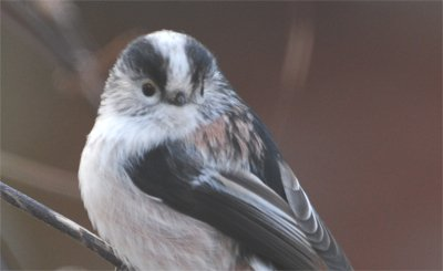 Long Tailed Tits form flocks over the winter.  Weighing less than a £1 coin, they are often present in gardens over the winter period and will huddle together for warmth at night. #WildlifeWednesday <br>http://pic.twitter.com/whYe6i31nE