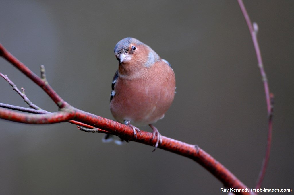 Did you know that Chaffinches have accents! Chaffinches from France sing different songs to those in the UK #WildlifeWednesday <br>http://pic.twitter.com/dq3QX3aeXC