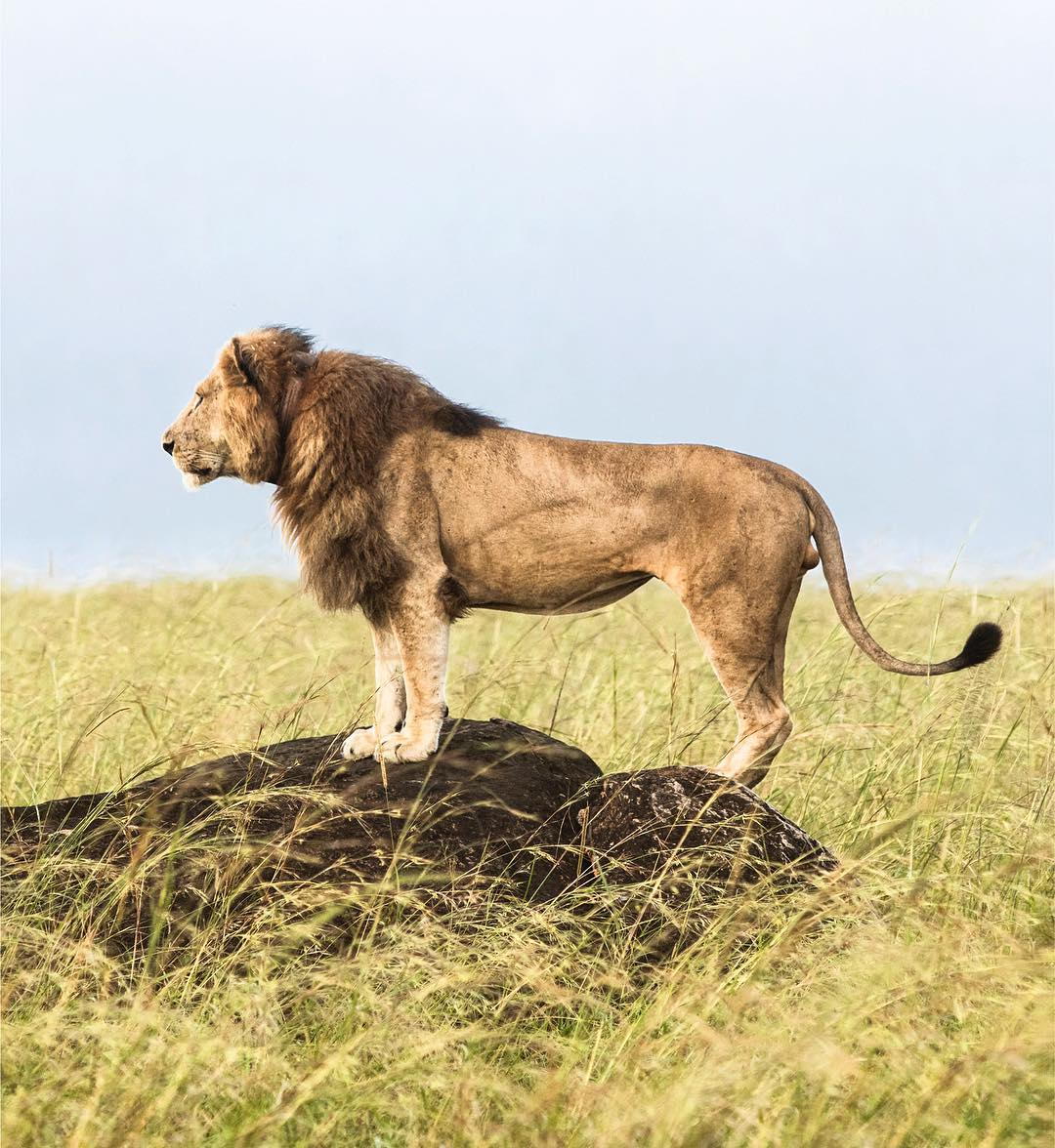 A dominant male lion surveying his domain in Kidepo Valley National Park.  IG/andreayrazu #WildlifeWednesday #Uganda<br>http://pic.twitter.com/cNmrV6pww8
