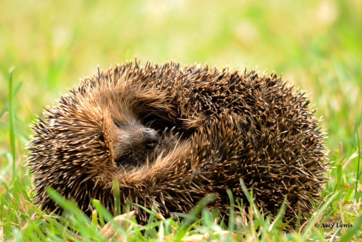 """The Wildlife Trusts on Twitter: """"Want to help all hedgehogs in the UK?  Adopt a hedgehog this Christmas for yourself or a friend!  https://t.co/tQA17TUOKd ..."""