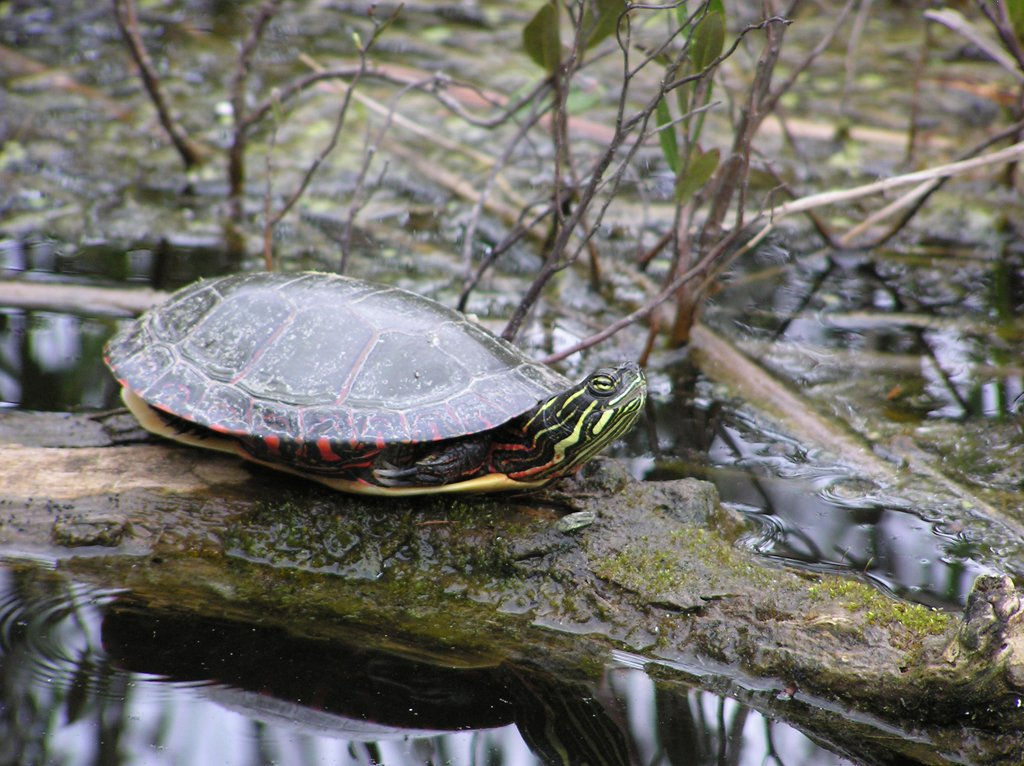 #DYK: when turtles #hibernate, their heart rate drops from 40 beats a minute to one beat every 10 minutes... so turtly #cool!  #WildlifeWednesday  RT @FishWildlifeON<br>http://pic.twitter.com/MnlJuMXcWy