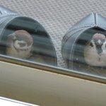 ※窓ガラス越しなので、あまりよく写ってませんが、かわいかったので…。二羽で仲良く。 pic.twit…