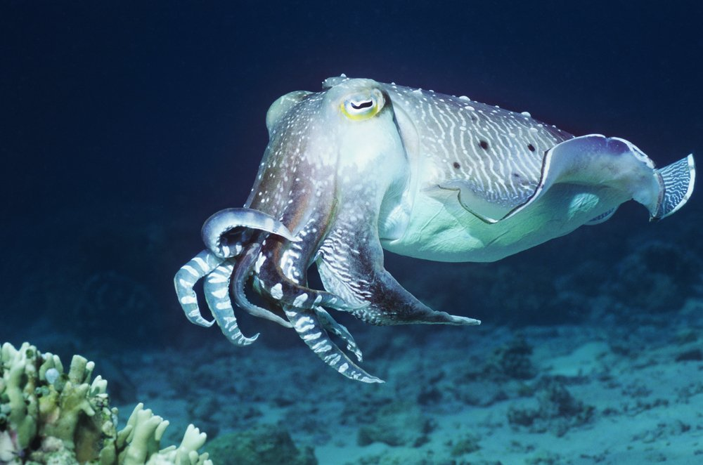#DidYouKnow cuttlefish can count better than most human babies? A Royal Society study found that 1-month old cuttlefish could better identify the difference between 4 and 5 shrimp than --year old human babies. #FunFact<br>http://pic.twitter.com/4LSZxFCXee