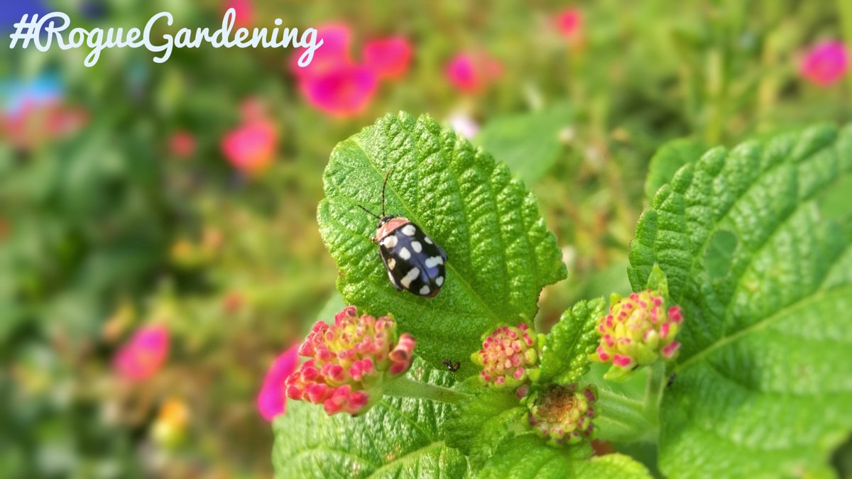 There are nearly 5000 species of ladybugs worldwide. Here is why you need to keep them in your #garden  http:// bit.ly/2yoArSV  &nbsp;   #gardenersworld #blogpost #ladybug <br>http://pic.twitter.com/INOJZKcSWa
