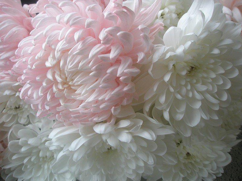 Пьяный пришел, картинки фото красивая с днем рождения хризантема
