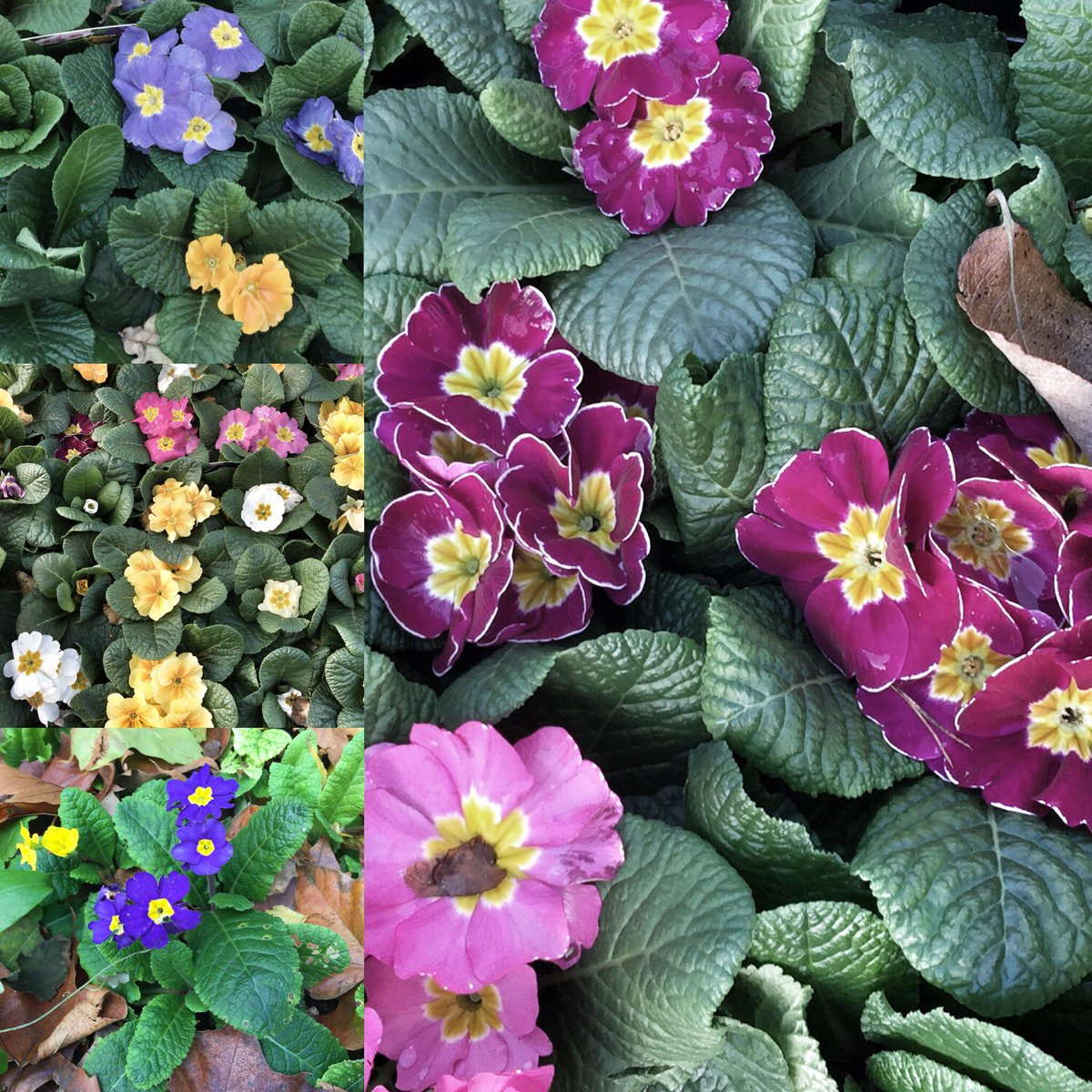Thank goodness for Primrose! Need some #colour in the #garden at this time of year #November #flowers #bloom #gardenchat <br>http://pic.twitter.com/OzMgkww6BI