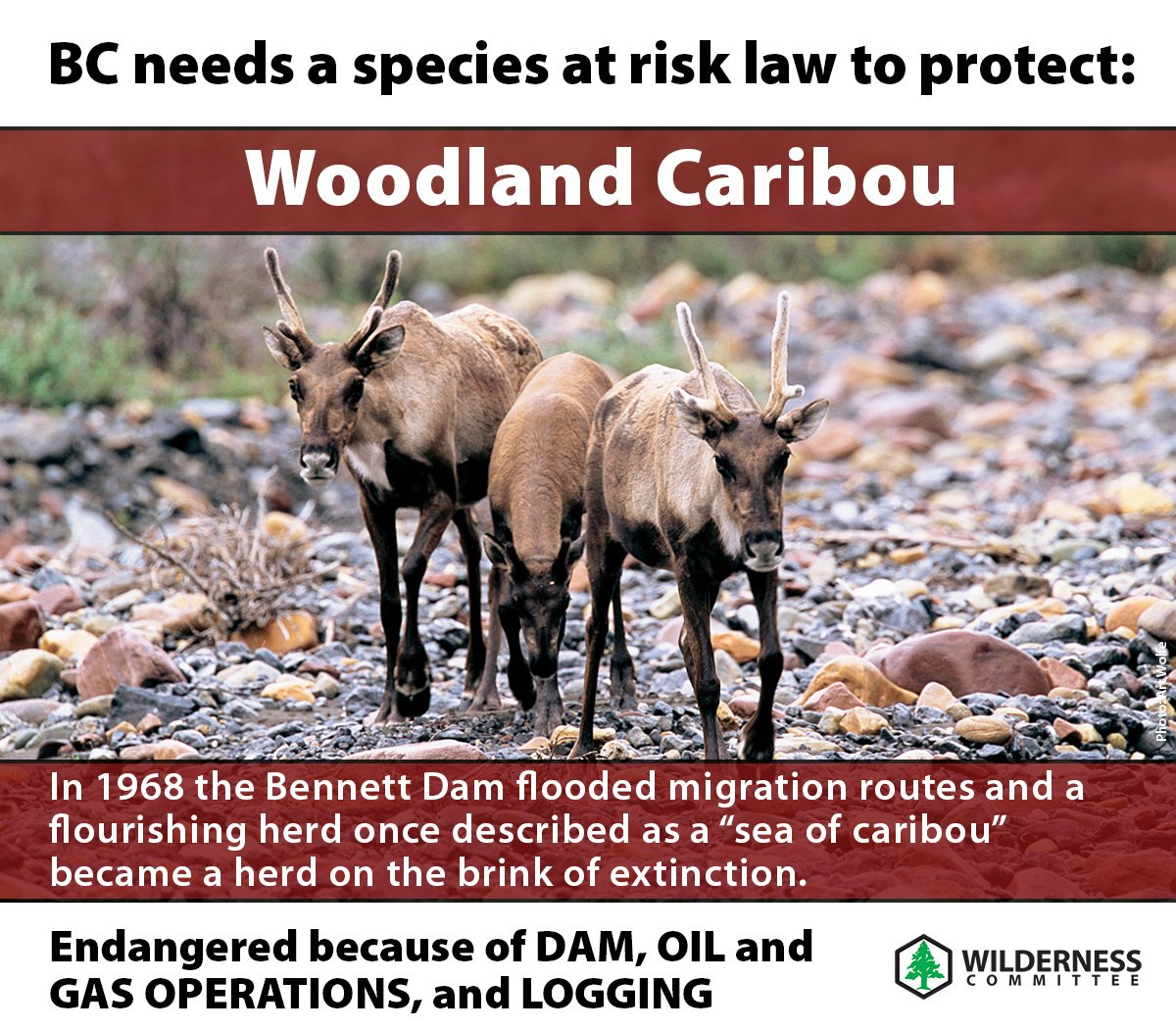#BC needs an #endangered species law which the BC government has promised. Here&#39;s a reason why this law is crucial! We need to protect the 1,900 species at risk in BC. #Law4BCspecies RT if you support a species at risk law! #caribou #bcpoli @GeorgeHeyman @AJWVictoriaBC<br>http://pic.twitter.com/26RAE9z1g2