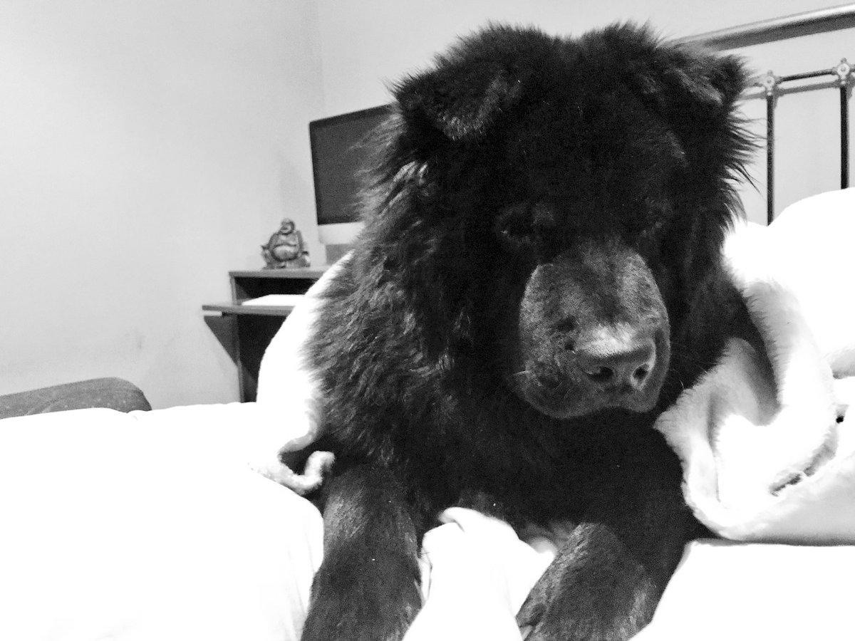 Mi ñiño me roba el corazón... y mi cama! #chowchowRollo #chowchowblack #chowchowpuppypic.twitter.com/RGYiSAlQBV