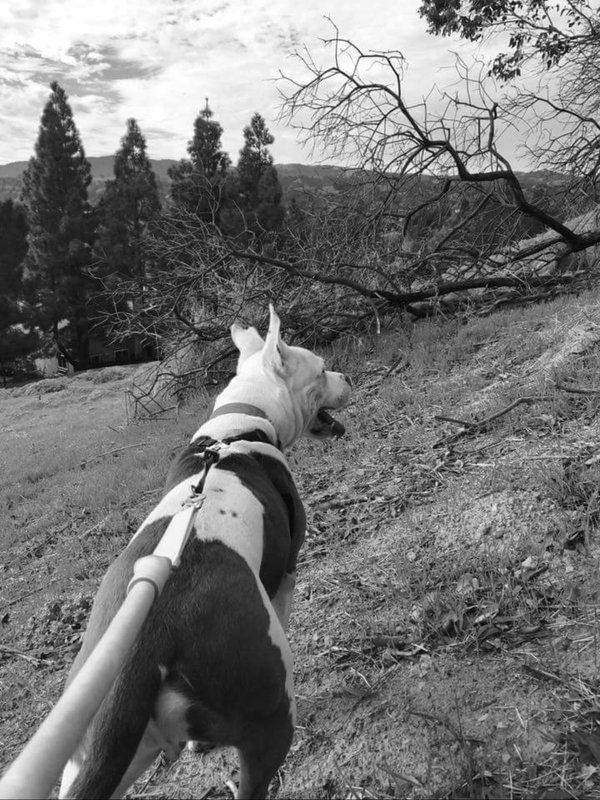 Adoptable #dog #Earl_CCSTCA_02 I&#39;m planning my strategy to jumo over that tree branch!  http:// getpet.info/Earl_CCSTCA_02  &nbsp;  <br>http://pic.twitter.com/SHHJ0Px0Sk