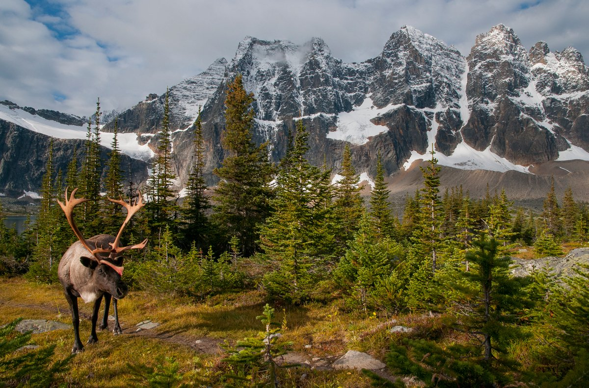 #BC and Canada are working together on #caribou recovery.  http:// ow.ly/BTqw30gMwYL  &nbsp;  <br>http://pic.twitter.com/JKlOVTk33A