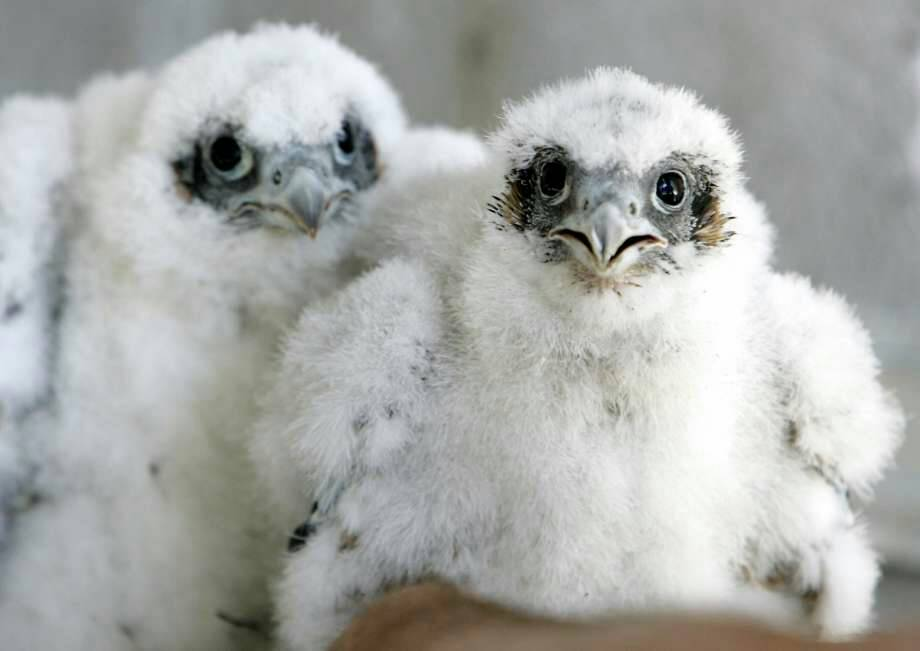California #birds nesting earlier to try to survive #GlobalWarming:  http://www. sfchronicle.com/bayarea/articl e/California-birds-nesting-earlier-to-try-to-12379156.php &nbsp; …   #climate #ClimateChange<br>http://pic.twitter.com/nxiMIjMivb