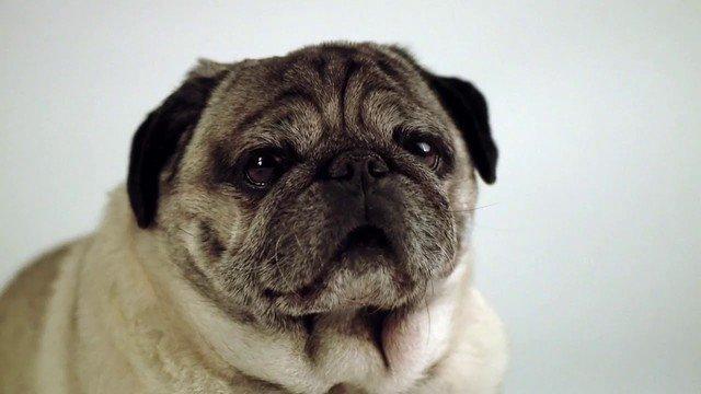 Journey of the pug - YouTube  http:// crwd.fr/2zwS6ZL  &nbsp;   #pugs #retweet #dogs #pug #follow #like #dog #aww #pugsdaily #YouTube #ifb #pets #pugsforlife #pugchat #cute #Pugs #fun #lol #puppy #vids #pugsoftheday #animals<br>http://pic.twitter.com/iNNWTK4UZ3