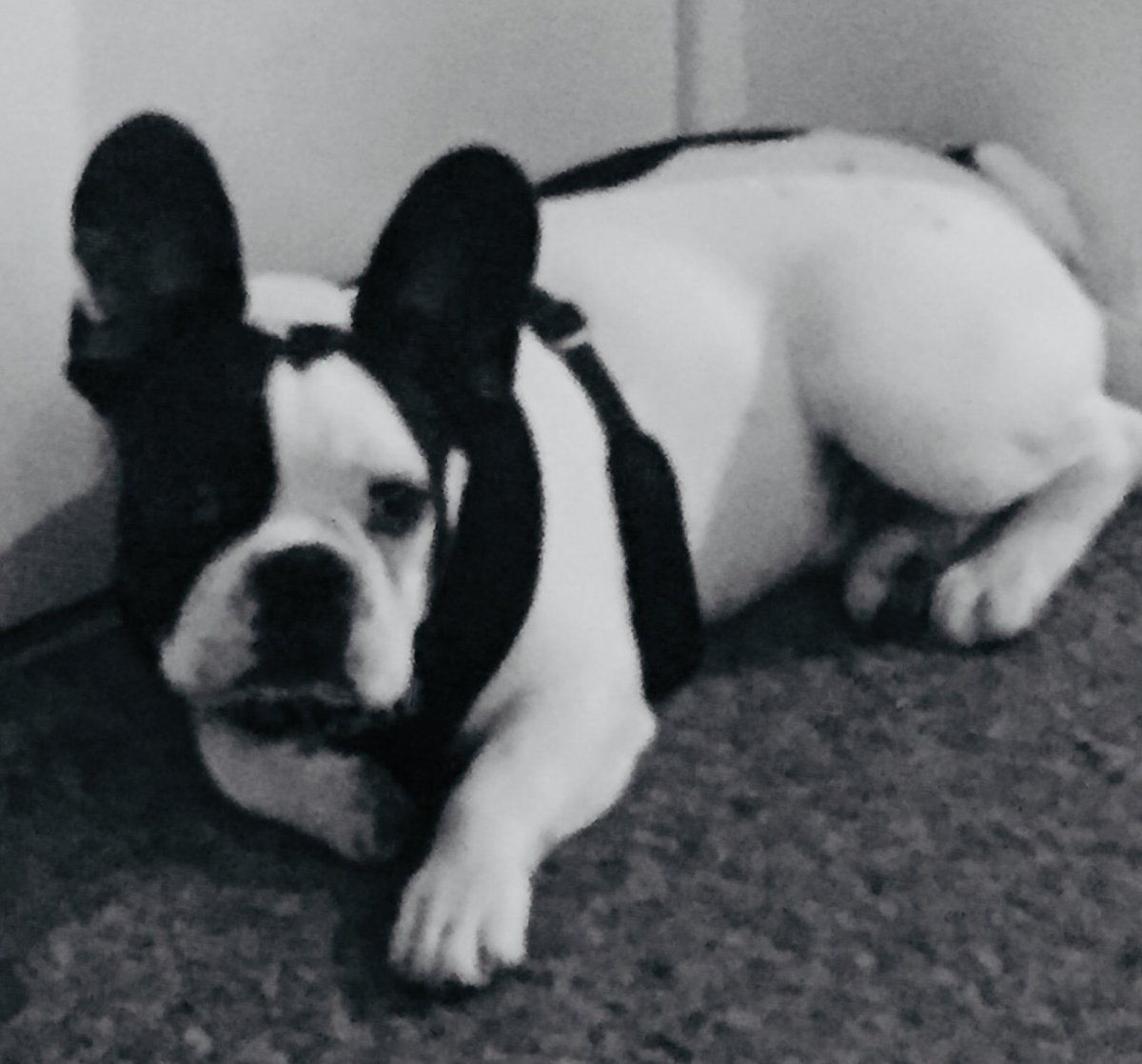 RT @TrevorLeWoof: #frenchbulldog #frenchie 🐾 #DogsOfTwitter. https://t.co/BzKAbPUF4k