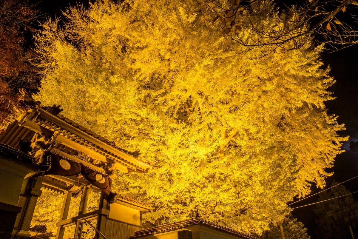 島根県大田市の浄善寺の大銀杏ライトアップに先ほどいってきたけど、カメラおじ皆無、地元民皆無、撮影者俺、以上! 最高かよ。ここの大銀杏樹齢600年オーバーなのに、すごく木のフォルムもかわいいし、めっちゃ気に入った( ^ω^ ) ここは撮影の穴場スポットやな!#ファインダー越しの私の世界 pic.twitter.com/RqLv83CKll