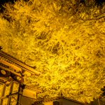 島根県大田市の浄善寺の大銀杏ライトアップに先ほどいってきたけど、カメラおじ皆無、地元民皆無、撮影者俺…