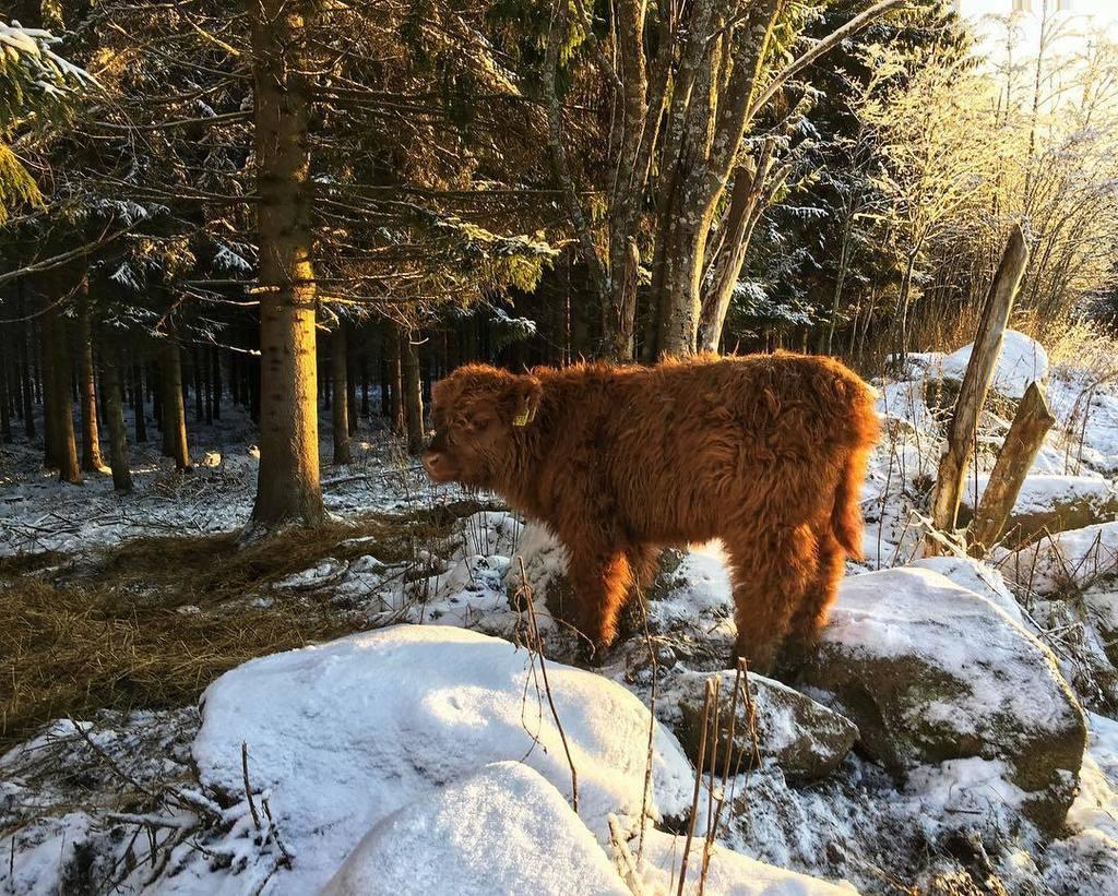 Fuzzy wuzzy was a cow. #moo RT @SaarelaHC: #highlandcattle #highlandcow #cow #cows #cattle #farmlife #牛 #finland #farm #cute  https://www. instagram.com/p/Bb4gUfDjmkn/  &nbsp;  <br>http://pic.twitter.com/q8yQ4KRcdw