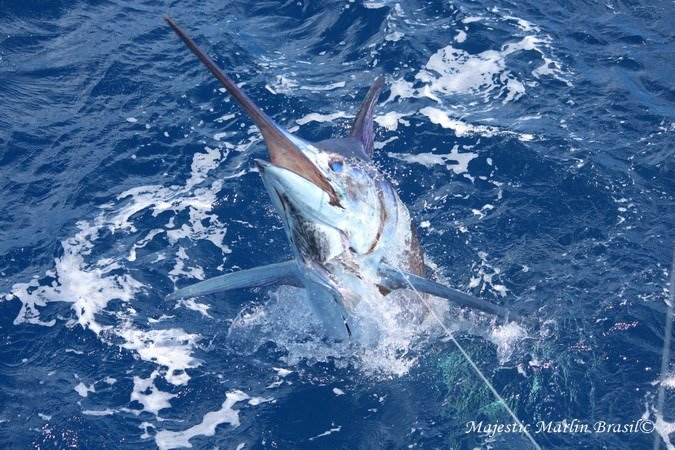 Canavieiras, Brazil - Capt. Shawn Wallace on Camargue went 6-7 on Blue Marlin, releasing a 950,700 and 700.