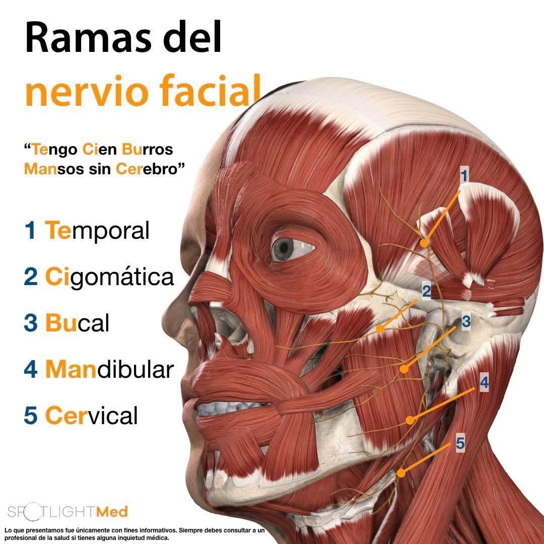 Lujoso Ramas Del Nervio Facial Bandera - Imágenes de Anatomía Humana ...